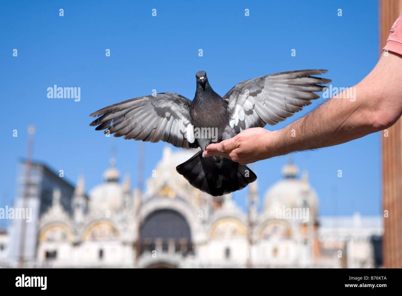 Pigeon, Saint Marks Square, Venice, Veneto, Italy - Stock Image