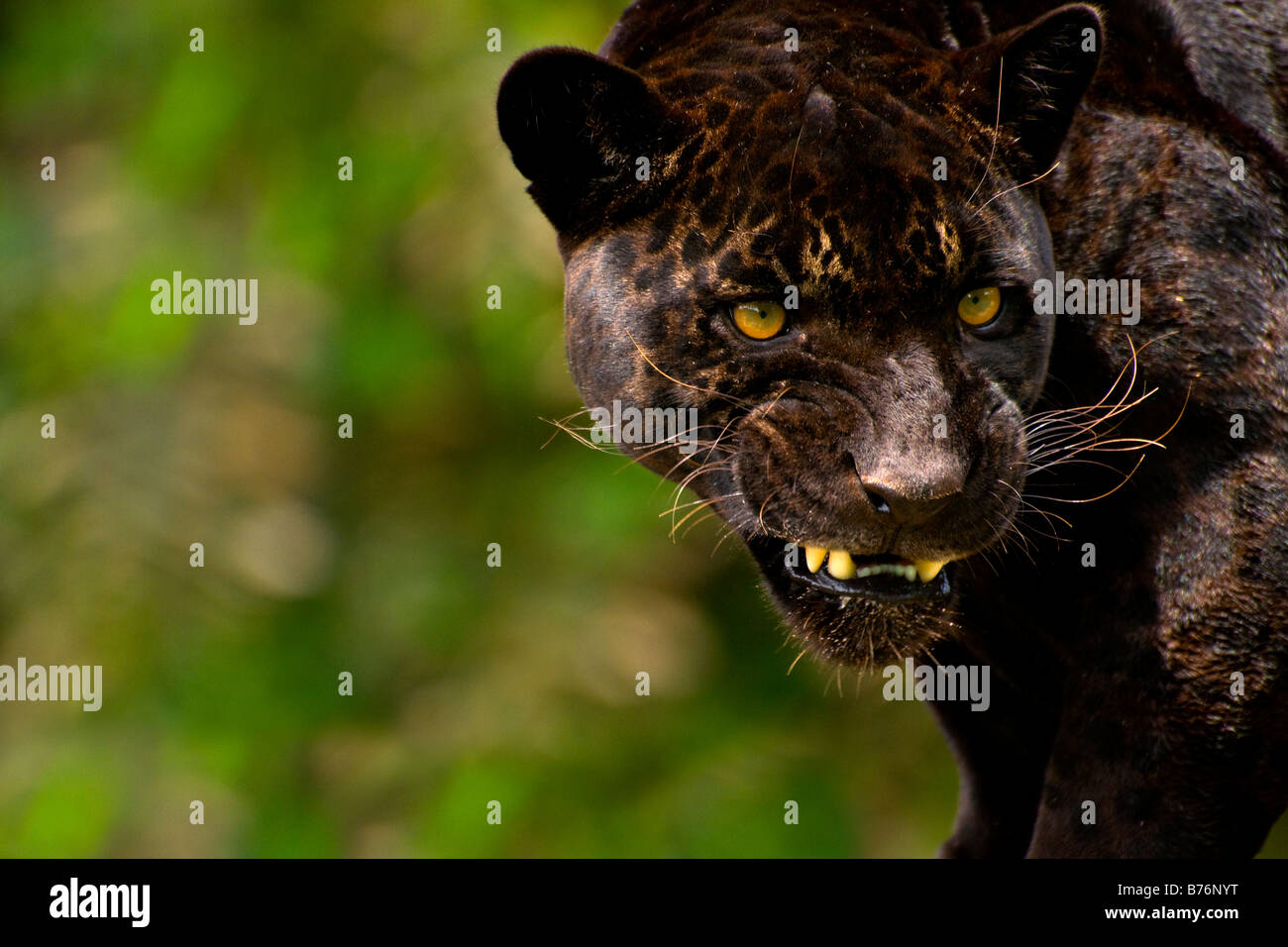 Panther or black jaguar Panthera onca snarling - Stock Image