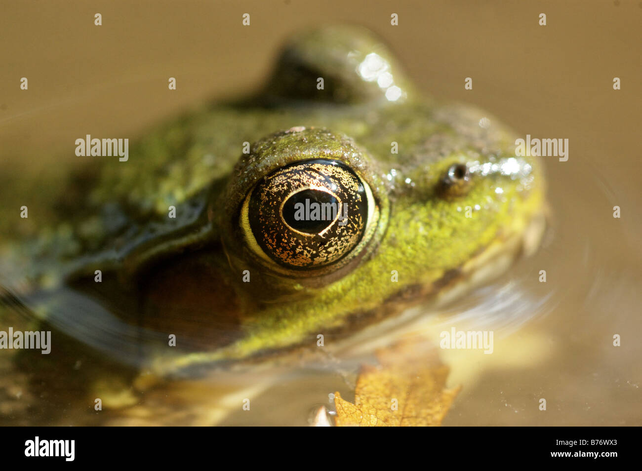 A close up of a frog in water - Stock Image