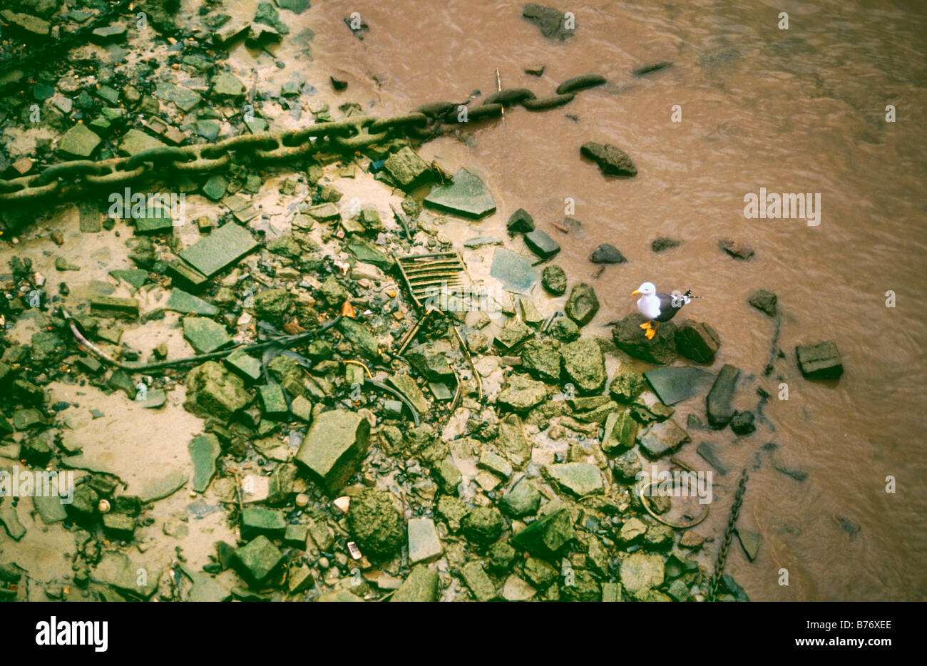 Black-backed Gull perched amongst rubble and waste along the shores of the River Thames, London, UK - Stock Image