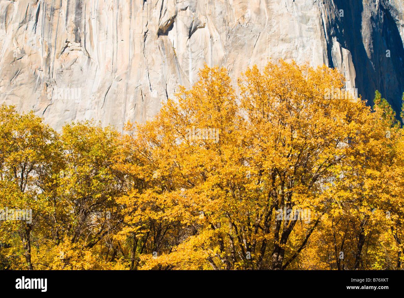 Fall color under El Capitan Yosemite Valley Yosemite National Park California Stock Photo