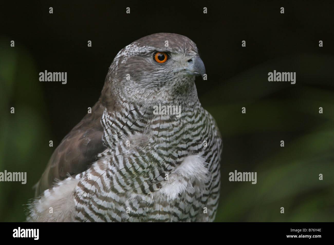 Goshawk, Accipitridae - Stock Image