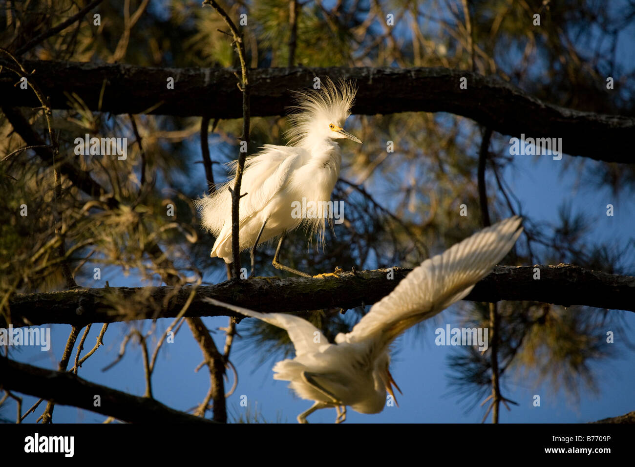 Snowy Egret (Egretta thula) chicks aggressively chase a frightened parent for food. - Stock Image