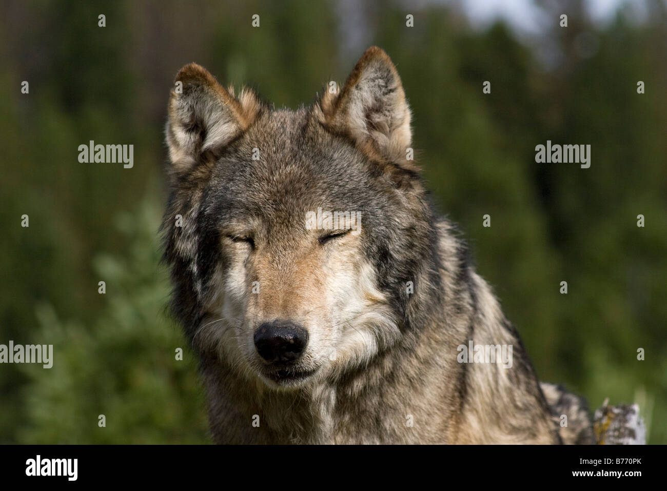 An American Gray Wolf pauses to close his eyes - Stock Image