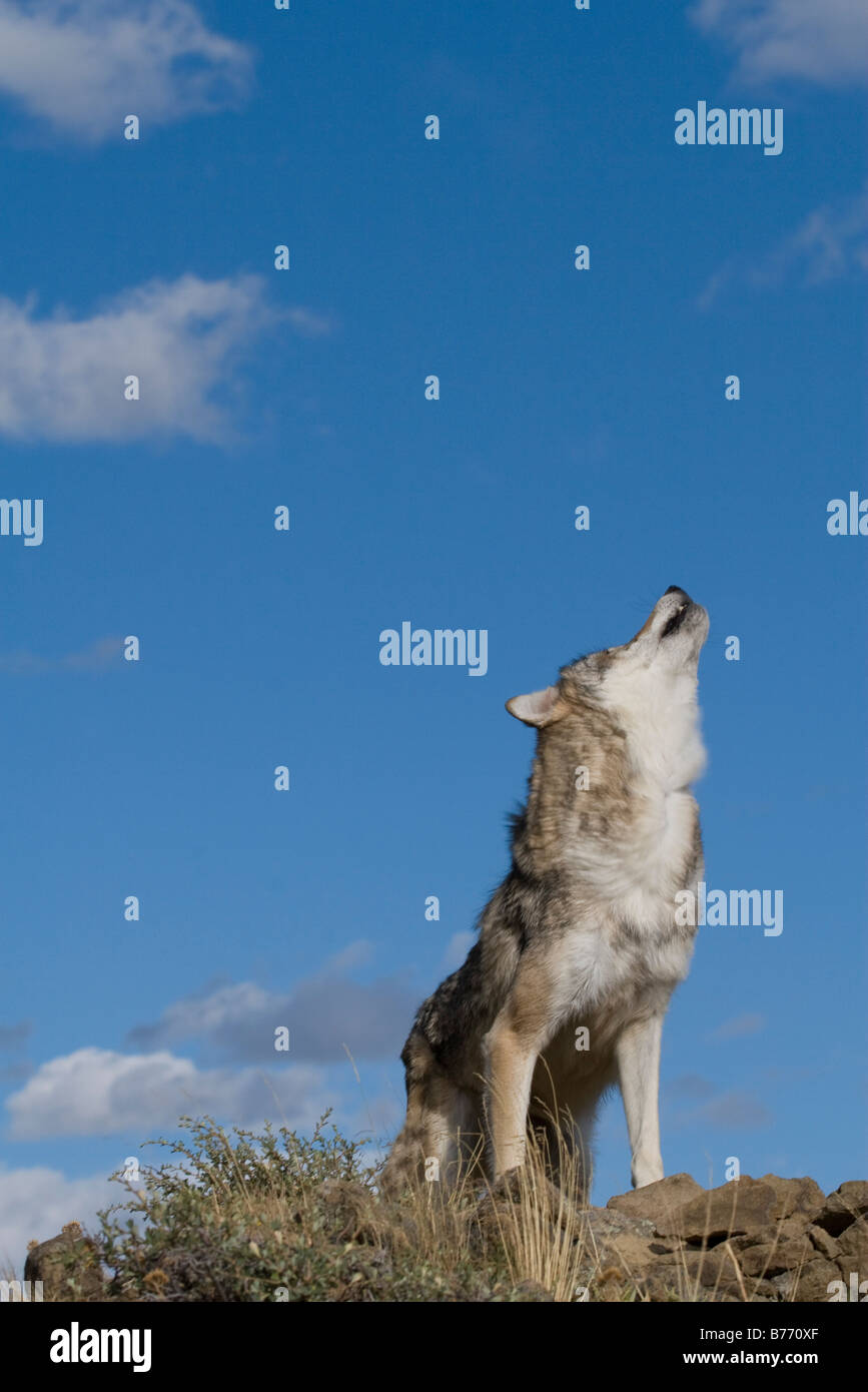 A Gray Wolf howls ontop of a rocky hill to call her pack - Stock Image