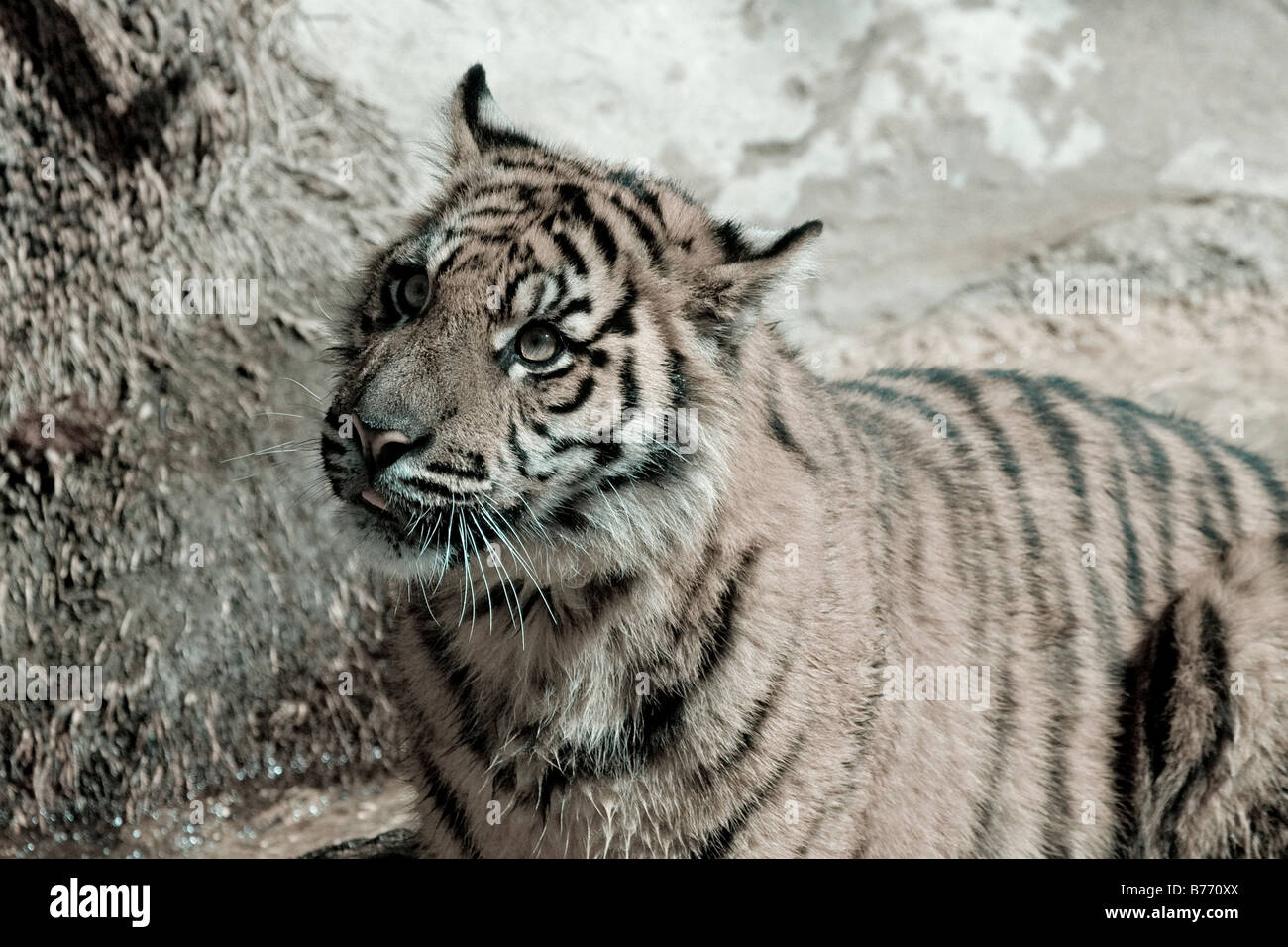 Sumatran Tiger Cub looks on arty shot - Stock Image