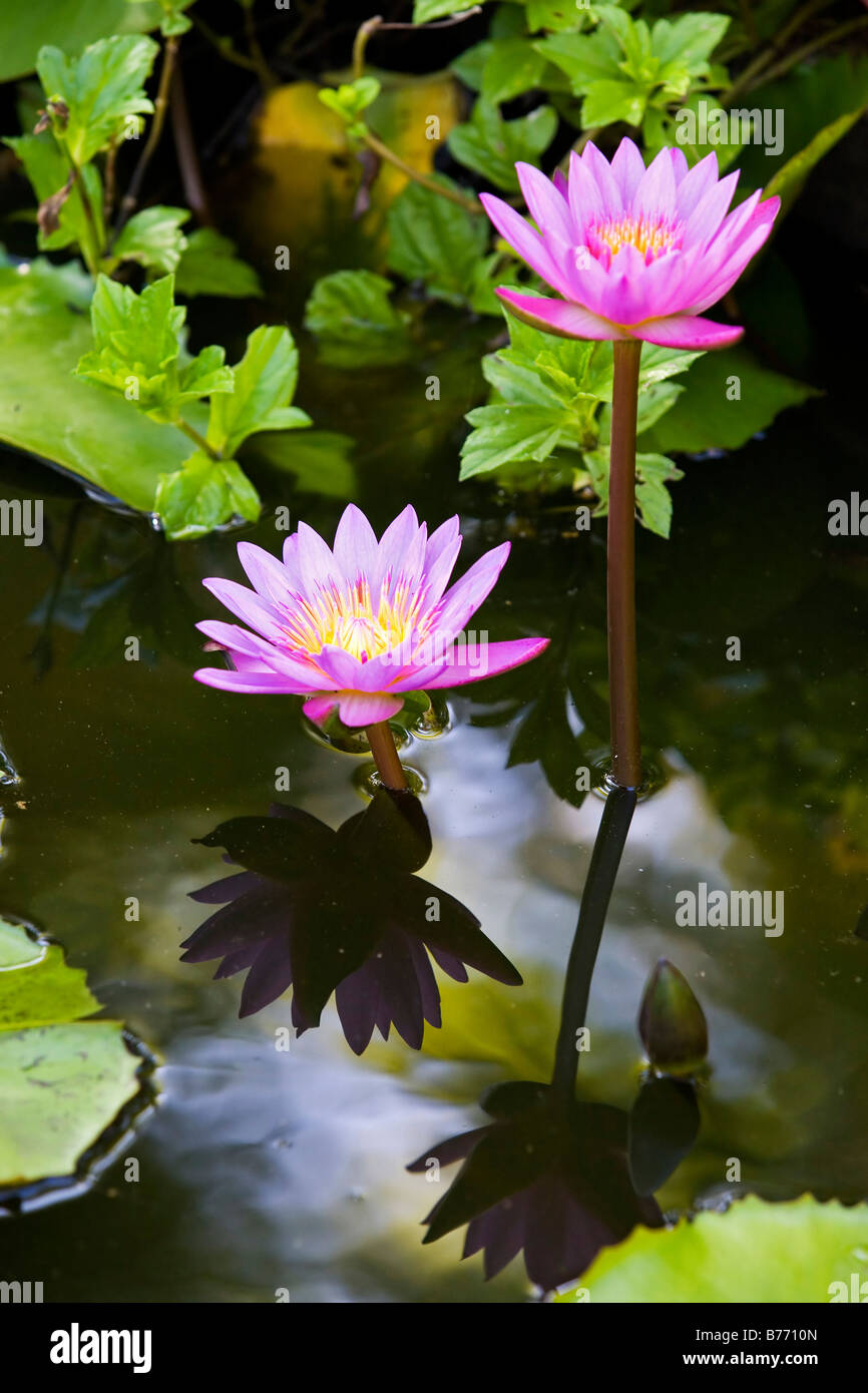Water lily lotus flowers national stock photos water lily lotus purple lotus flowers a type of water lily stock image mightylinksfo