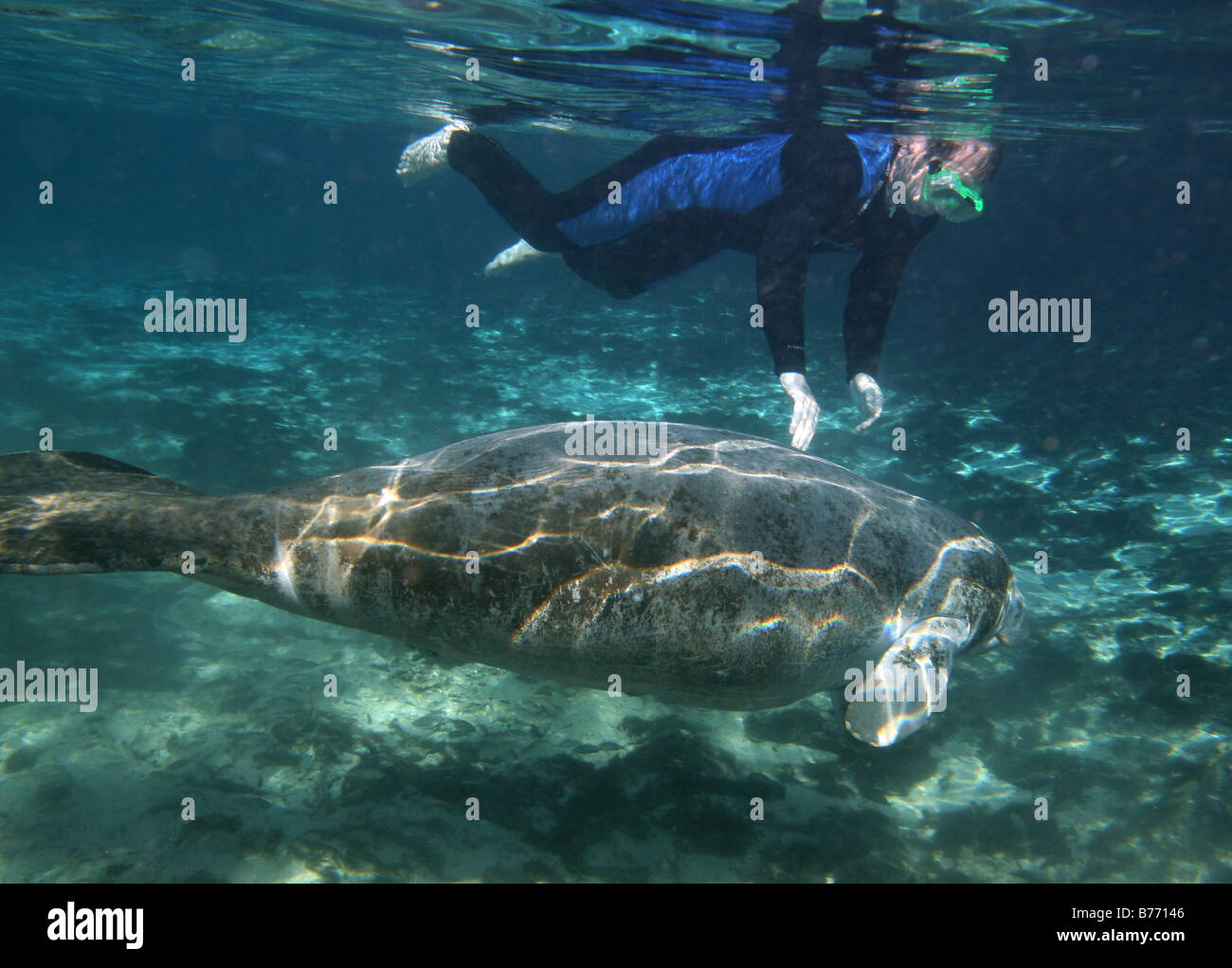 West Indian Manatee snorkel diver Crystal river florida - Stock Image