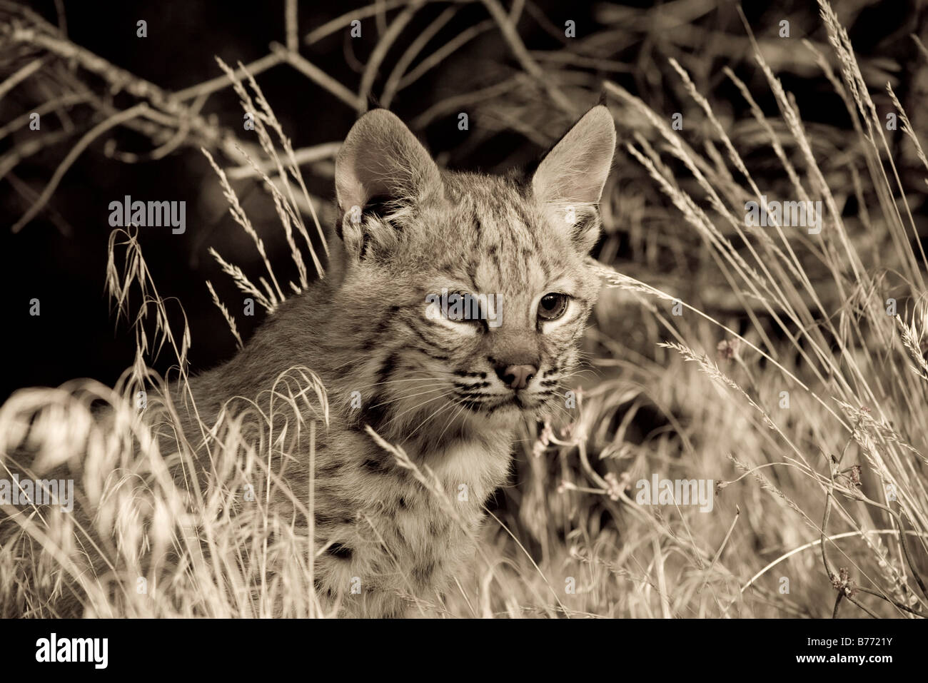Young Bobcat looks for mom in a golden field sepia - Stock Image