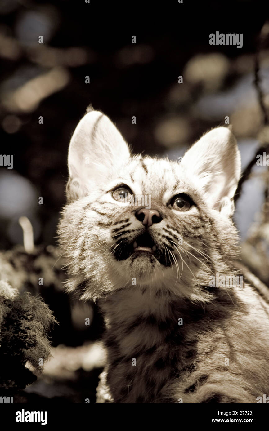 Young Bobcat sits in a tree sepia - Stock Image