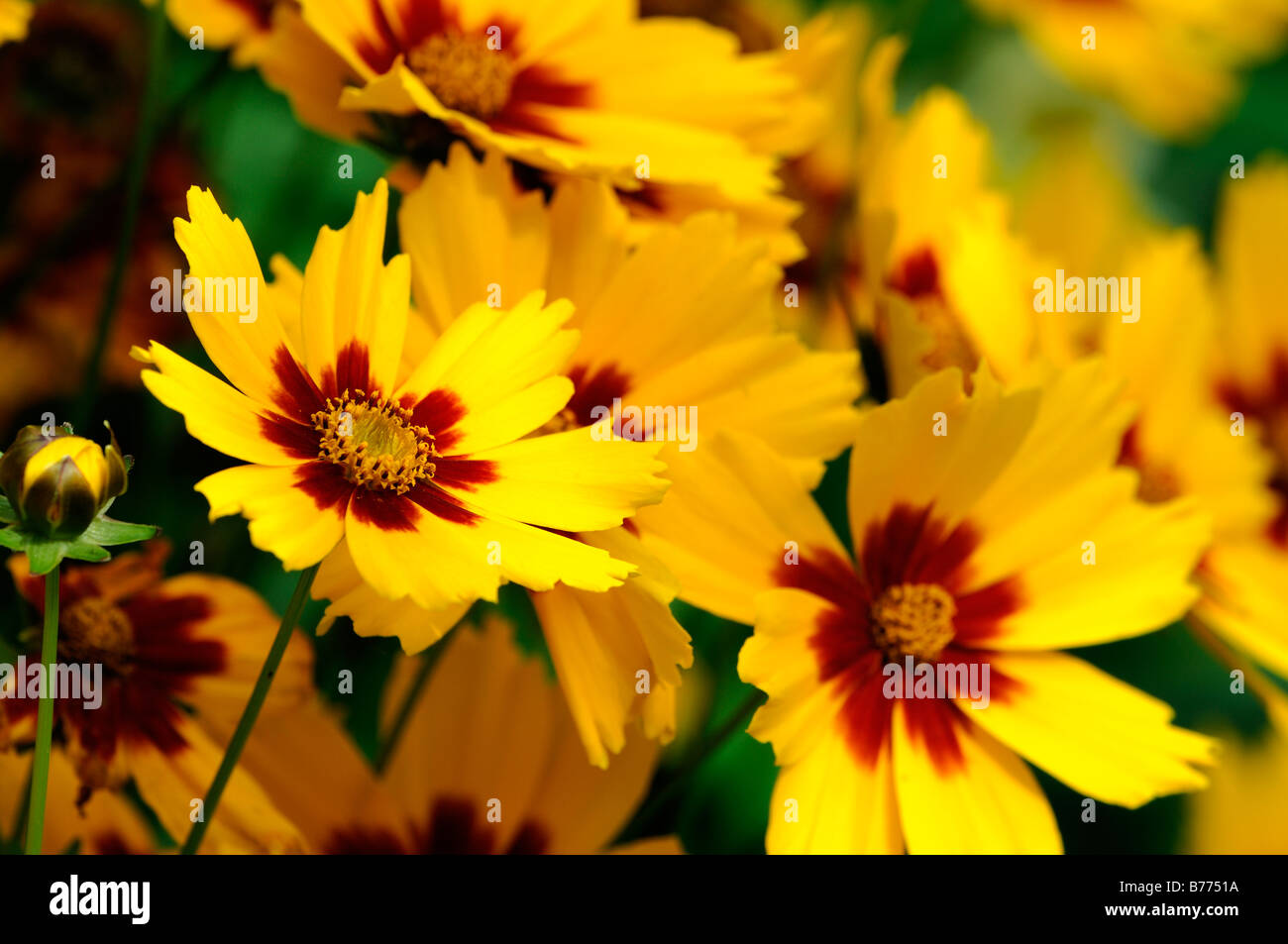 Coreopsis Grandiflora Stock Photos Coreopsis Grandiflora Stock