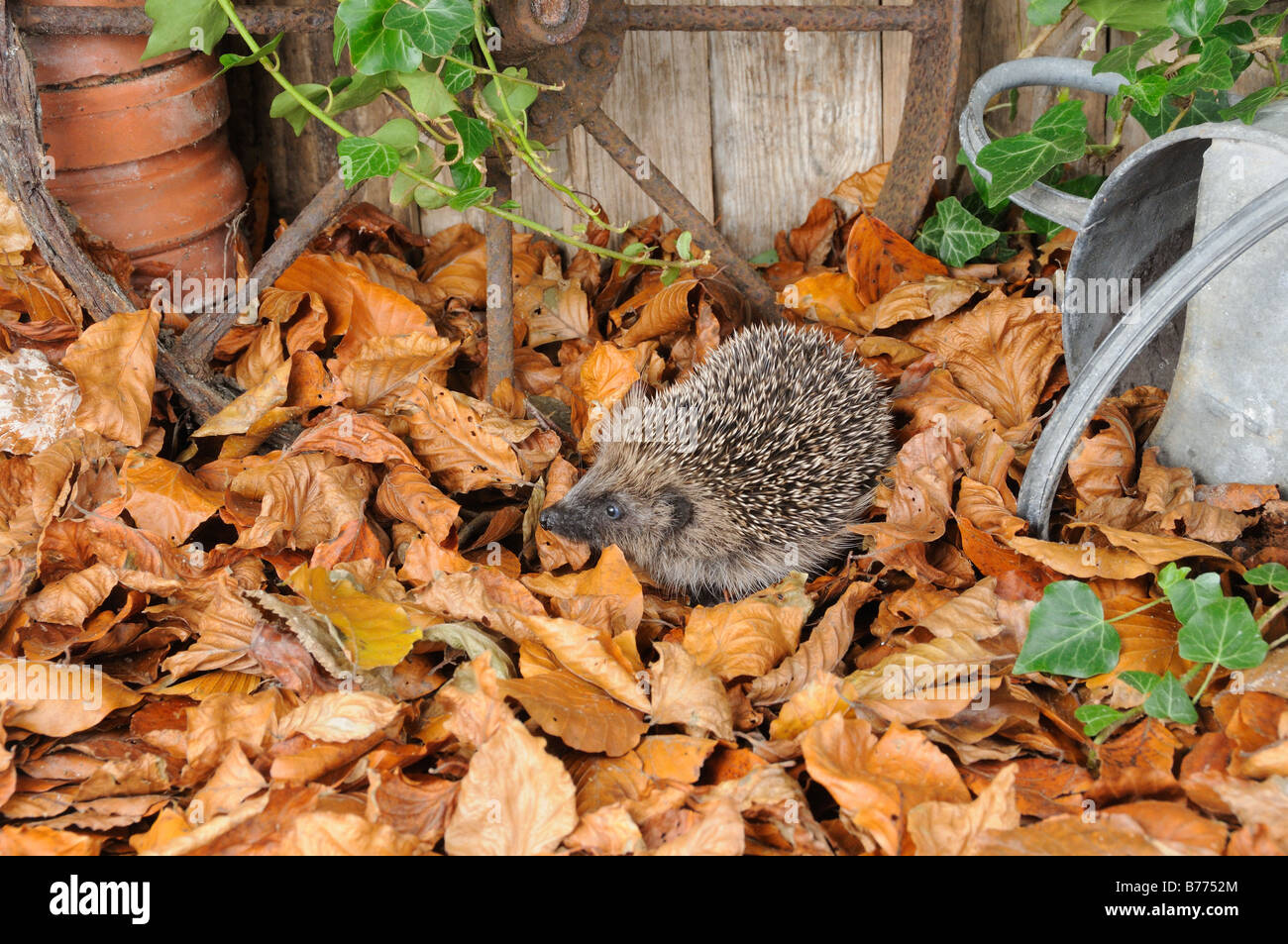 European Hedgehog erinaceus europaeus foraging amongst autumn leaves in a rustic garden setting Norfolk UK October - Stock Image