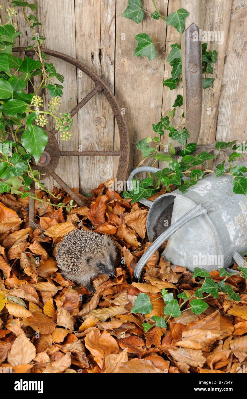 European Hedgehog erinaceus europaeus foraging amongst autumn leaves in a rustic garden setting Norfolk UK October - Stock Image