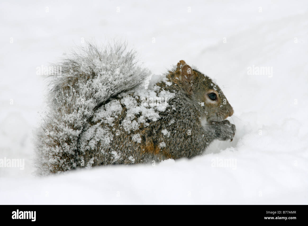 Eastern Gray Squirrel in Snow - Stock Image