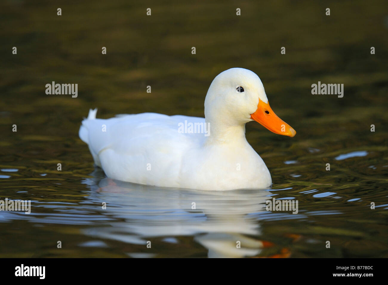 Domestic duck - Stock Image