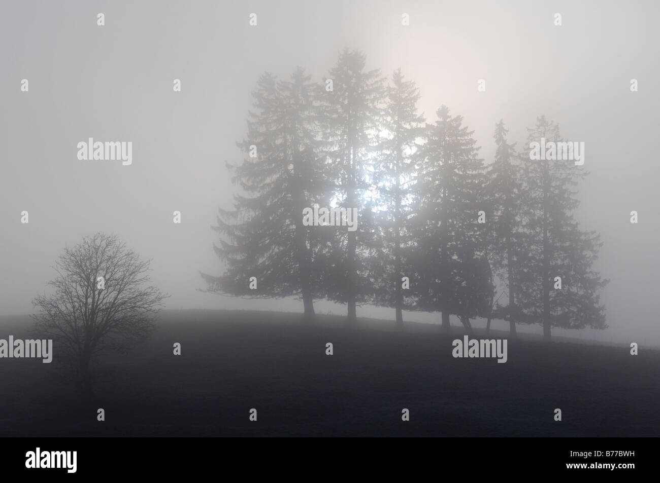 Spruces (Picea abies) in fog, Allgaeu, Bavaria, Germany, Europe - Stock Image