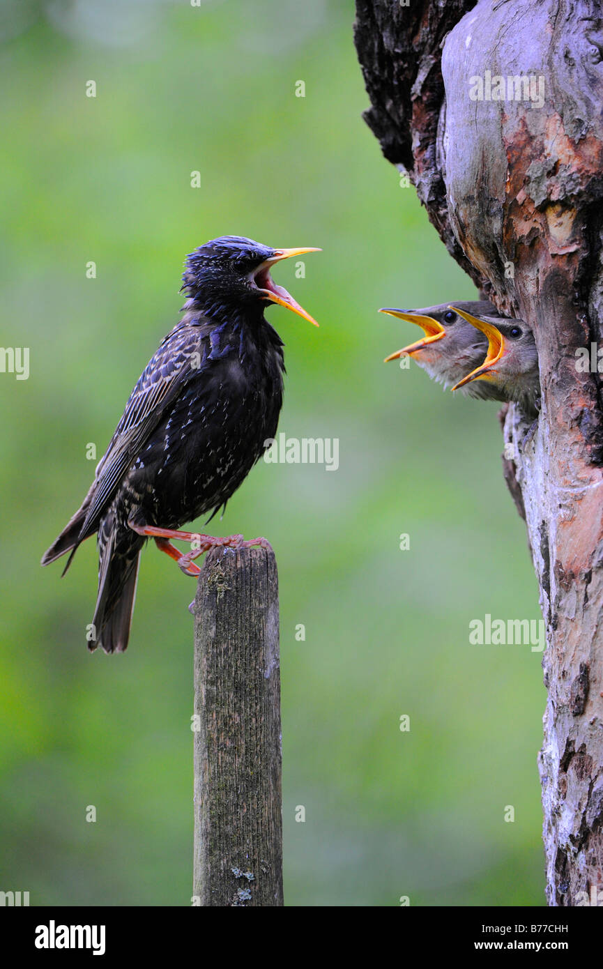 Young European Starlings (Sturnus vulgaris) and parent - Stock Image