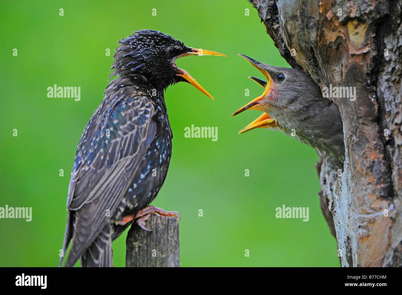 Young European Starlings (Sturnus vulgaris) and parent - Stock Image