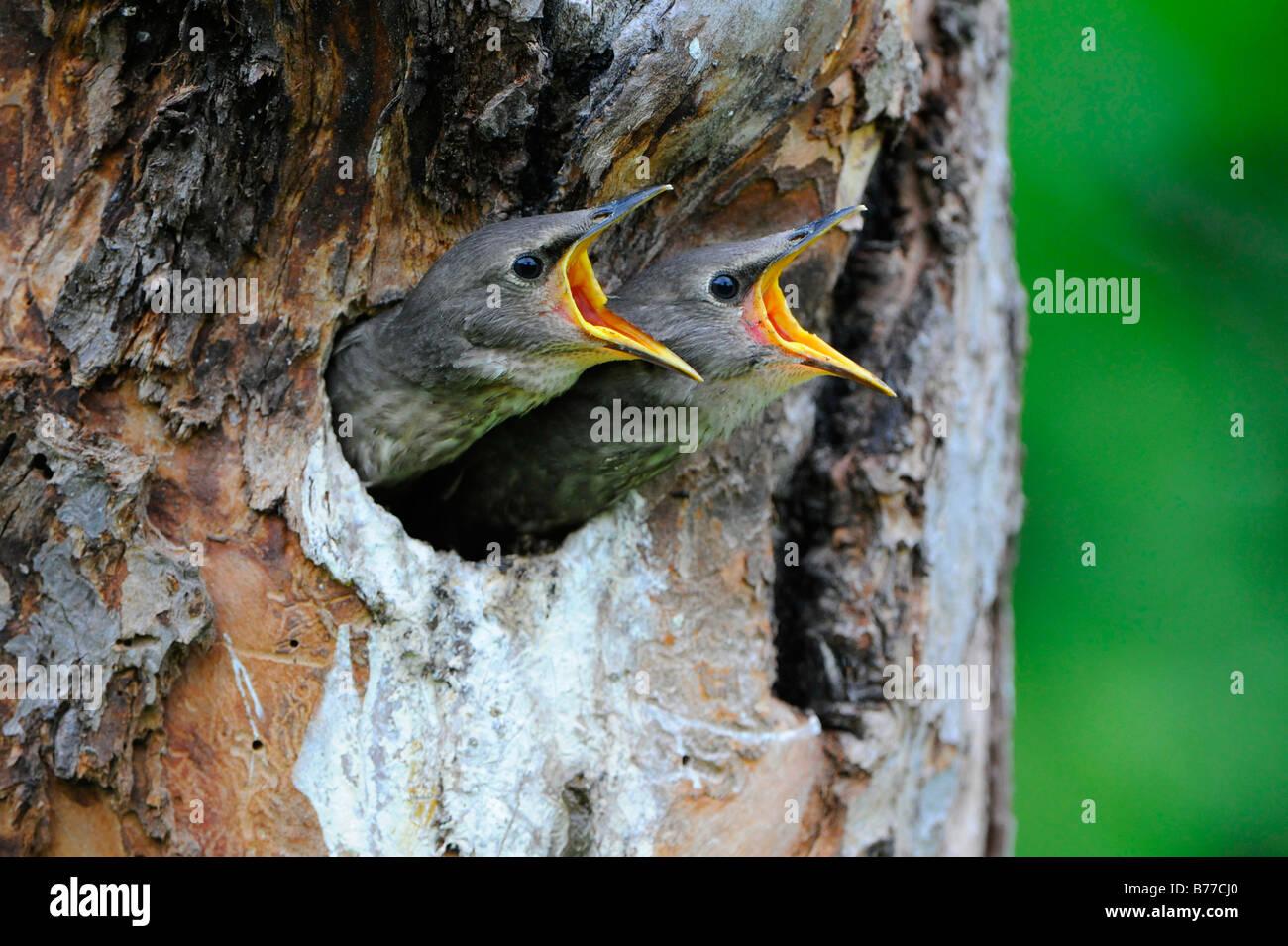 Young European Starlings (Sturnus vulgaris) - Stock Image