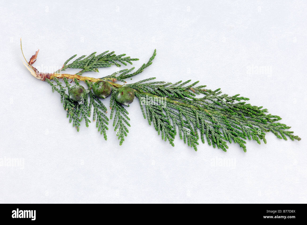 Port-Orford-Cedar (Chamaecyparis lawsoniana), twig with cones - Stock Image