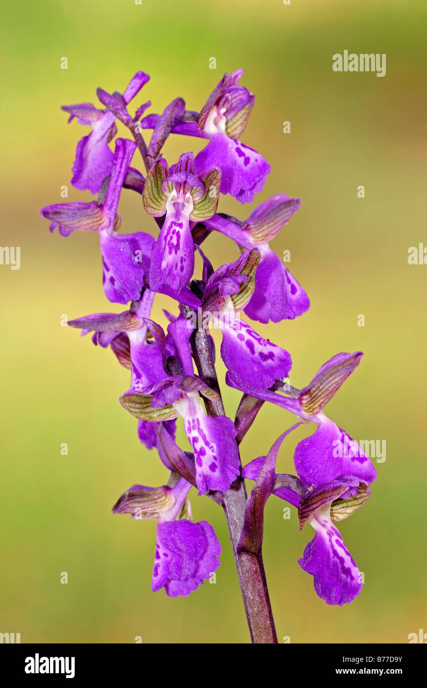 Green-winged Orchid or Green-veined Orchid (Orchis morio), Provence, Southern France, France, Europe - Stock Image