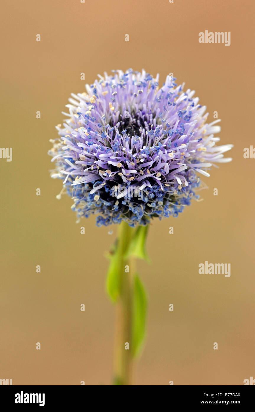 Common Globularia, Common Globe Daisy or Iberian Globe Daisy (Globularia punctata), Provence, Southern France, France, Stock Photo