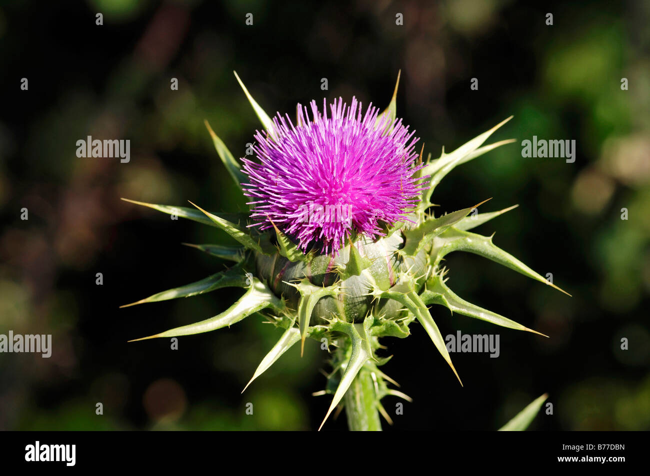 Milk Thistle or Our Lady's Thistle (Silybrum marianum, Carduus marianus), Provence, Southern France, France, Europe Stock Photo