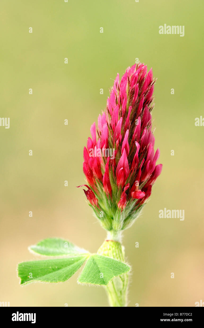 Red Trefoil Peachy Pink (Trifolium rubens), Provence, Southern France, Europe - Stock Image