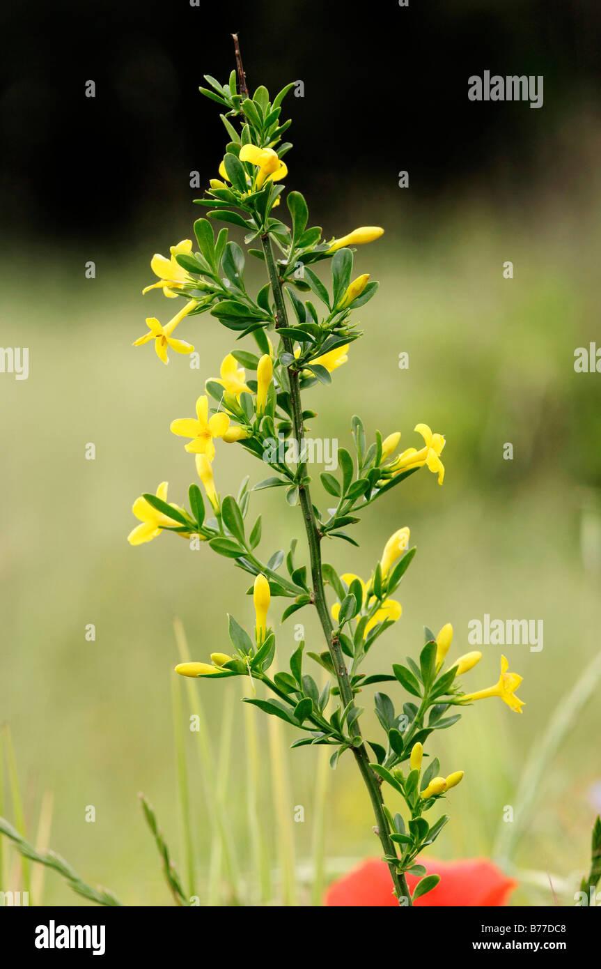 Wild jasmine, shrubby jasmine, hardy yellow jasmine (Jasminum fruticans), Provence, Southern France, Europe Stock Photo