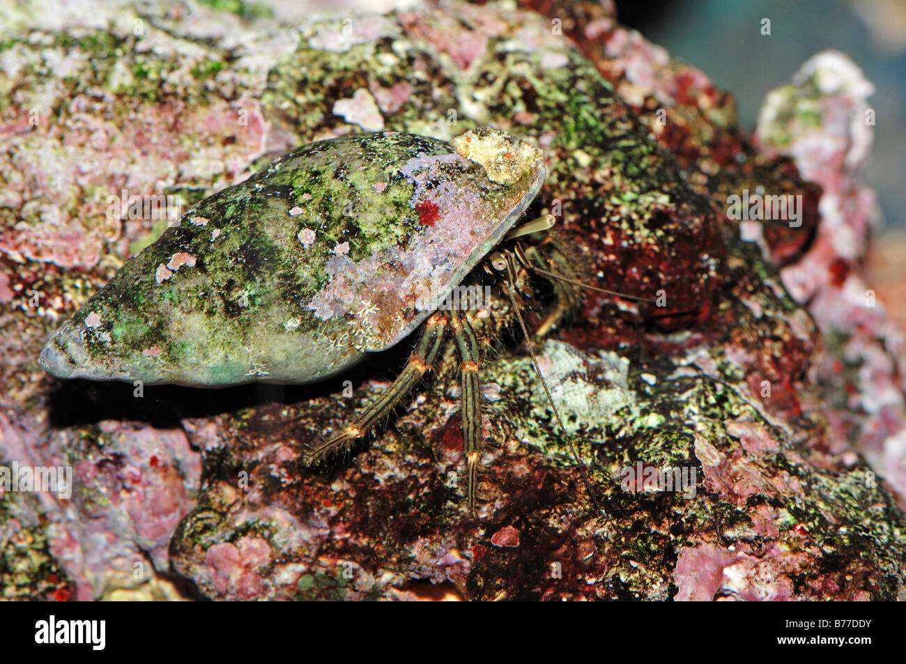 Left-handed Hermit Crab (Diogenidae spec.) - Stock Image
