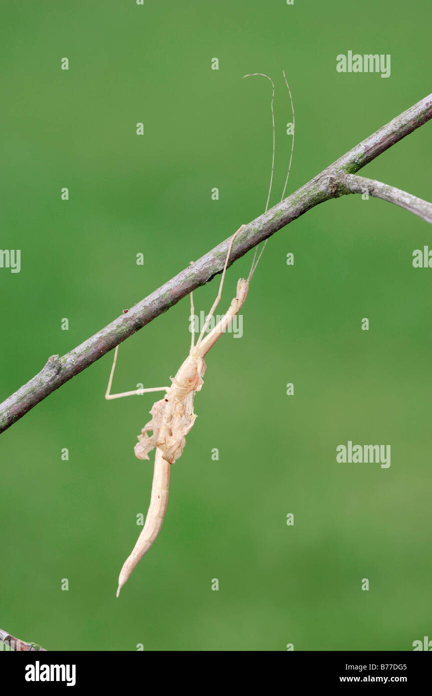 Stick Insect (Sipyloidea sipylus), casting off its skin Stock Photo