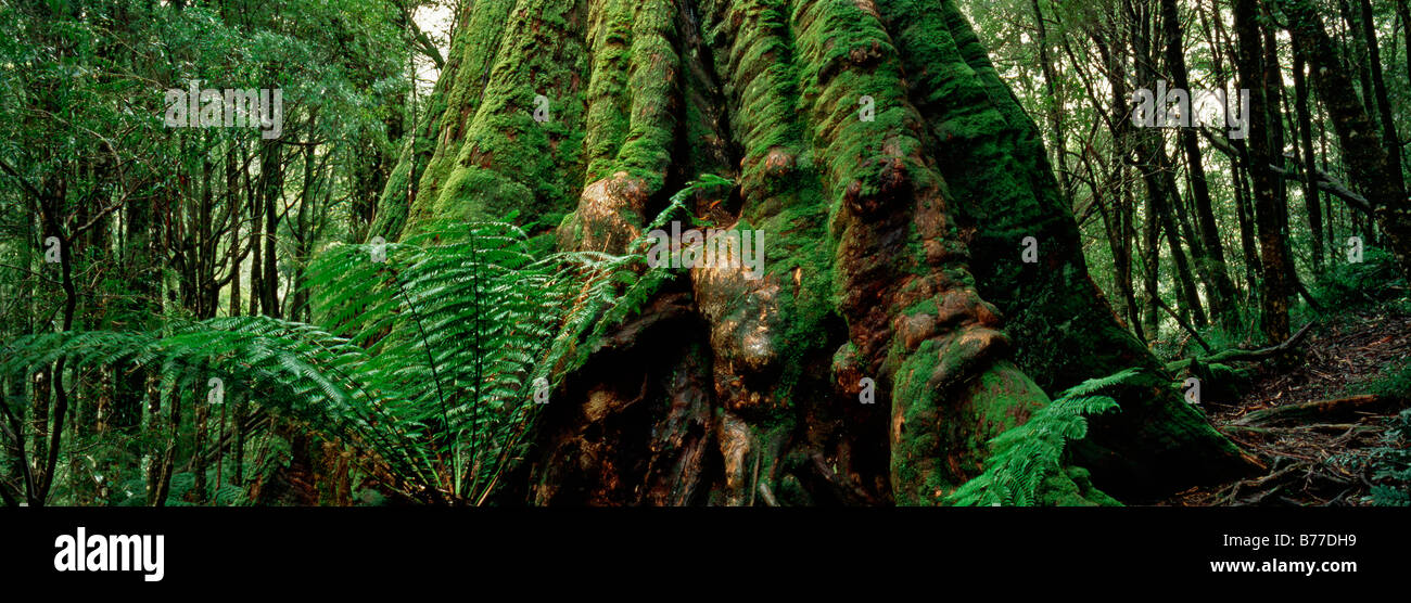 Large Mountain Ash Emergent (Eucalyptus regnans) towers above and in girth, at Melba Gully, Otway National Park, - Stock Image
