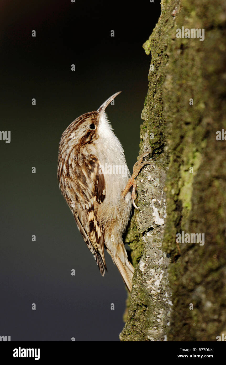Short-toed Treecreeper (Certhia brachydactyla), North Rhine-Westphalia, Germany, Europe - Stock Image