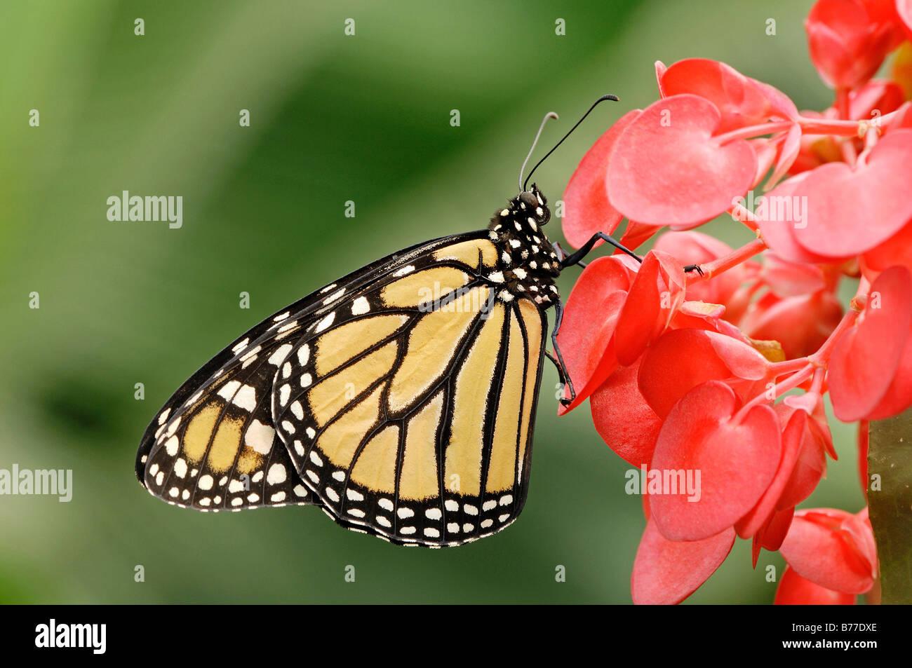 Monarch (Danaus plexippus) - Stock Image