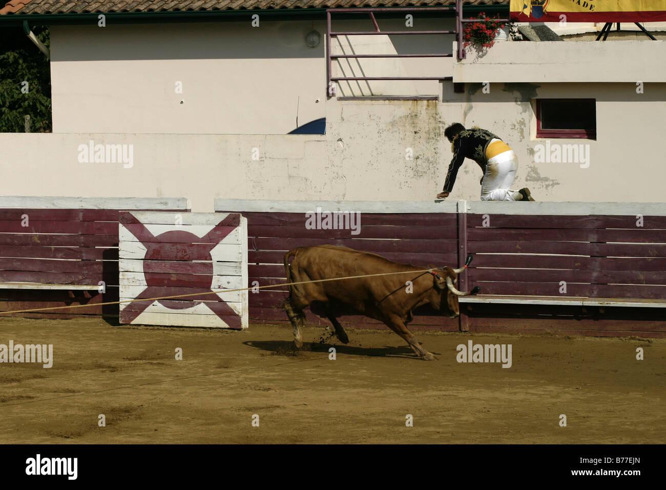 Ecarteur escapes charging cow Course Landaise Larrivière Aquitaine France Gascony Stock Photo