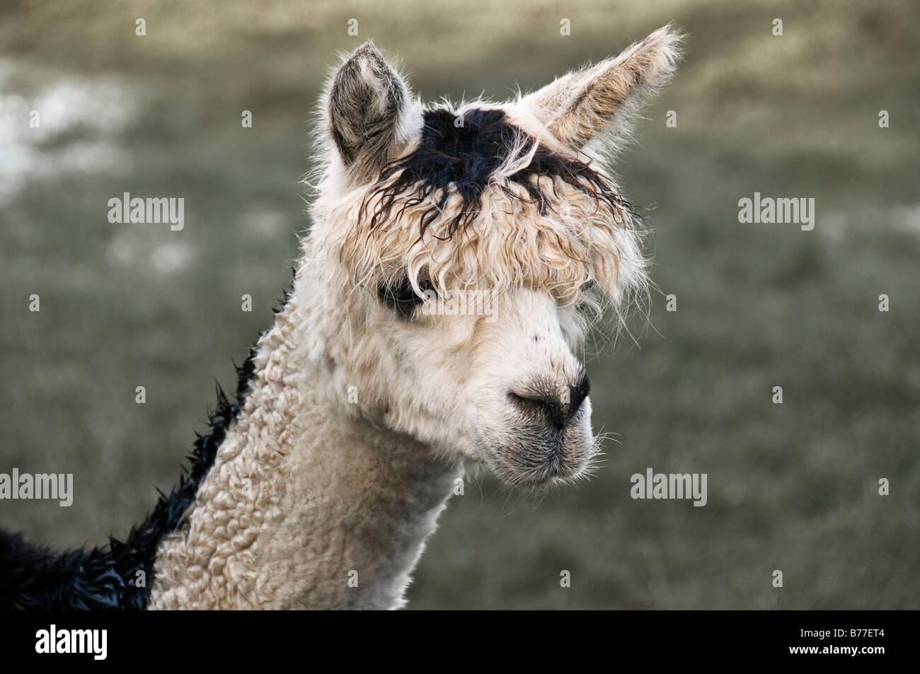 Alpaca (Lama pacos), Westkuestenpark, St. Peter-Ording, Schleswig-Holstein, Germany, Europe - Stock Image