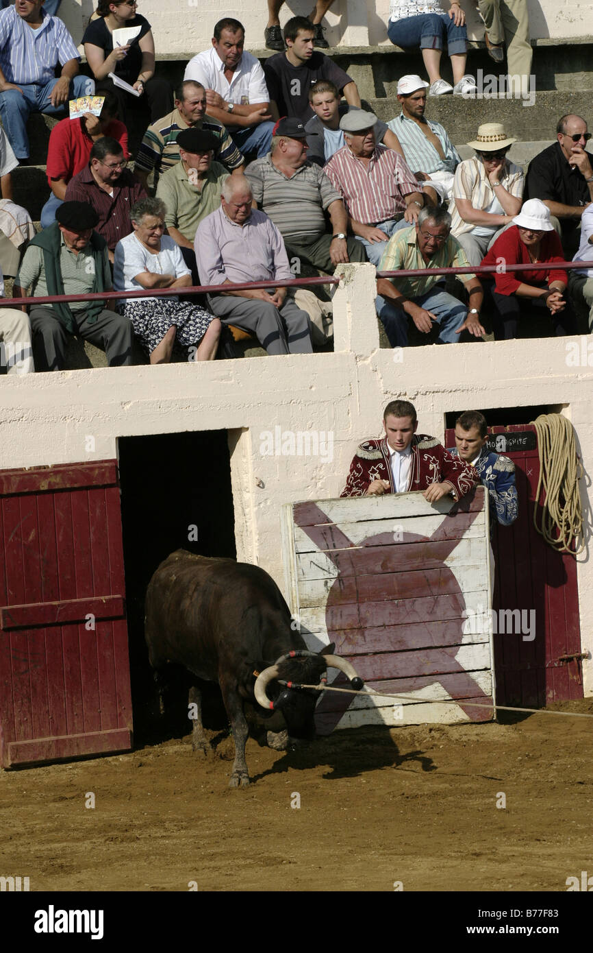PHOTOLIBRARY                 Cow being released into arena Course Landaise Larrivière Aquitaine France Gascony Stock Photo
