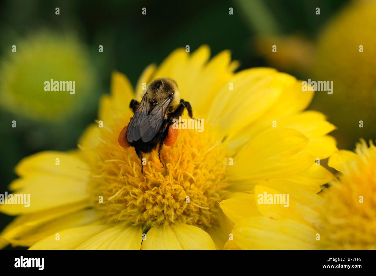 gaillardia x grandiflora yellow bee feeding collecting clooect sip nectar pollinate pollination flower bloom blossom - Stock Image