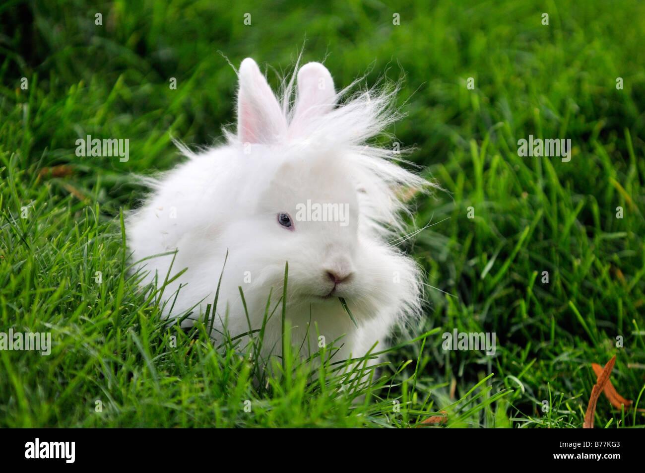 White rabbit (Leporidae), in a fresh green field, Tierpark Schoenbrunn, Vienna, Austria, Europe - Stock Image