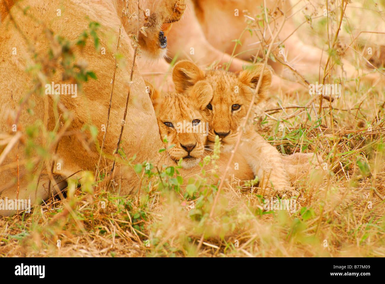 Lion Cubs (Panthera leo), Serengeti National Park, Tansania, Africa - Stock Image