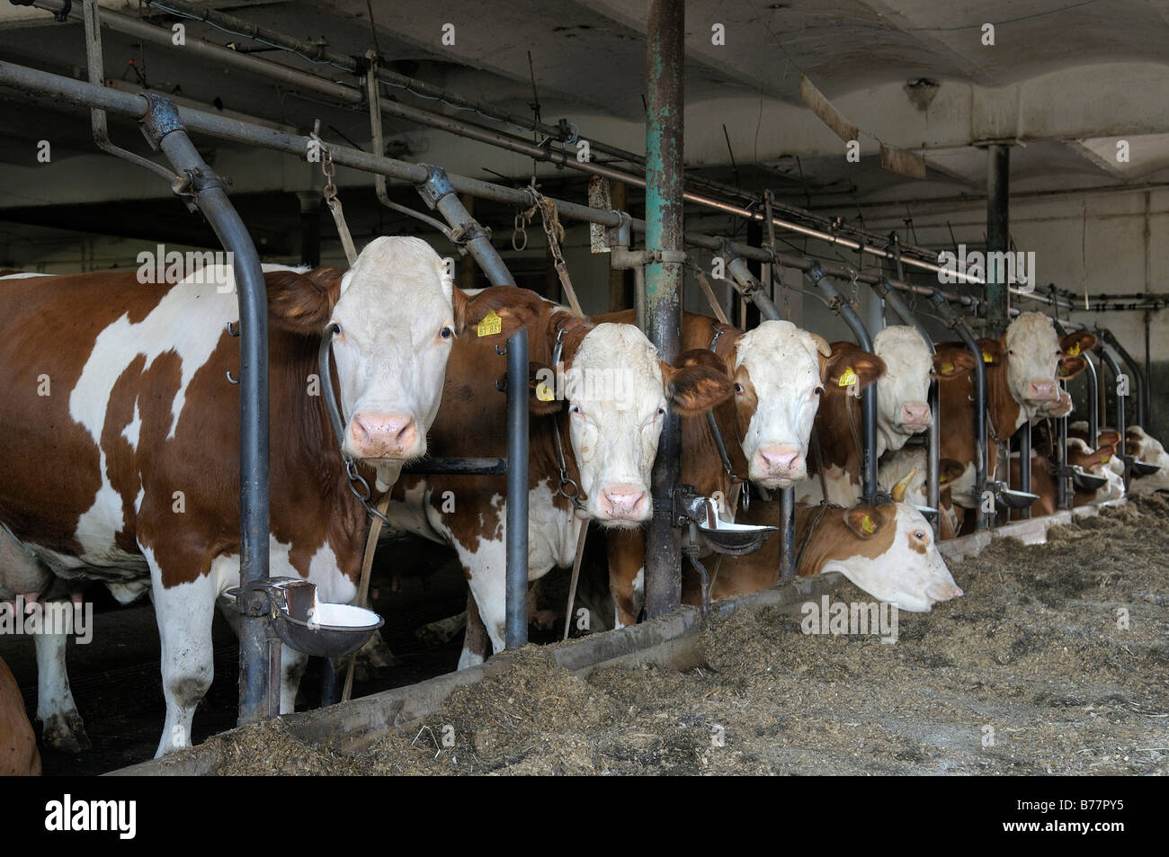Dairy cows standing in a barn upper bavaria germany europe stock image