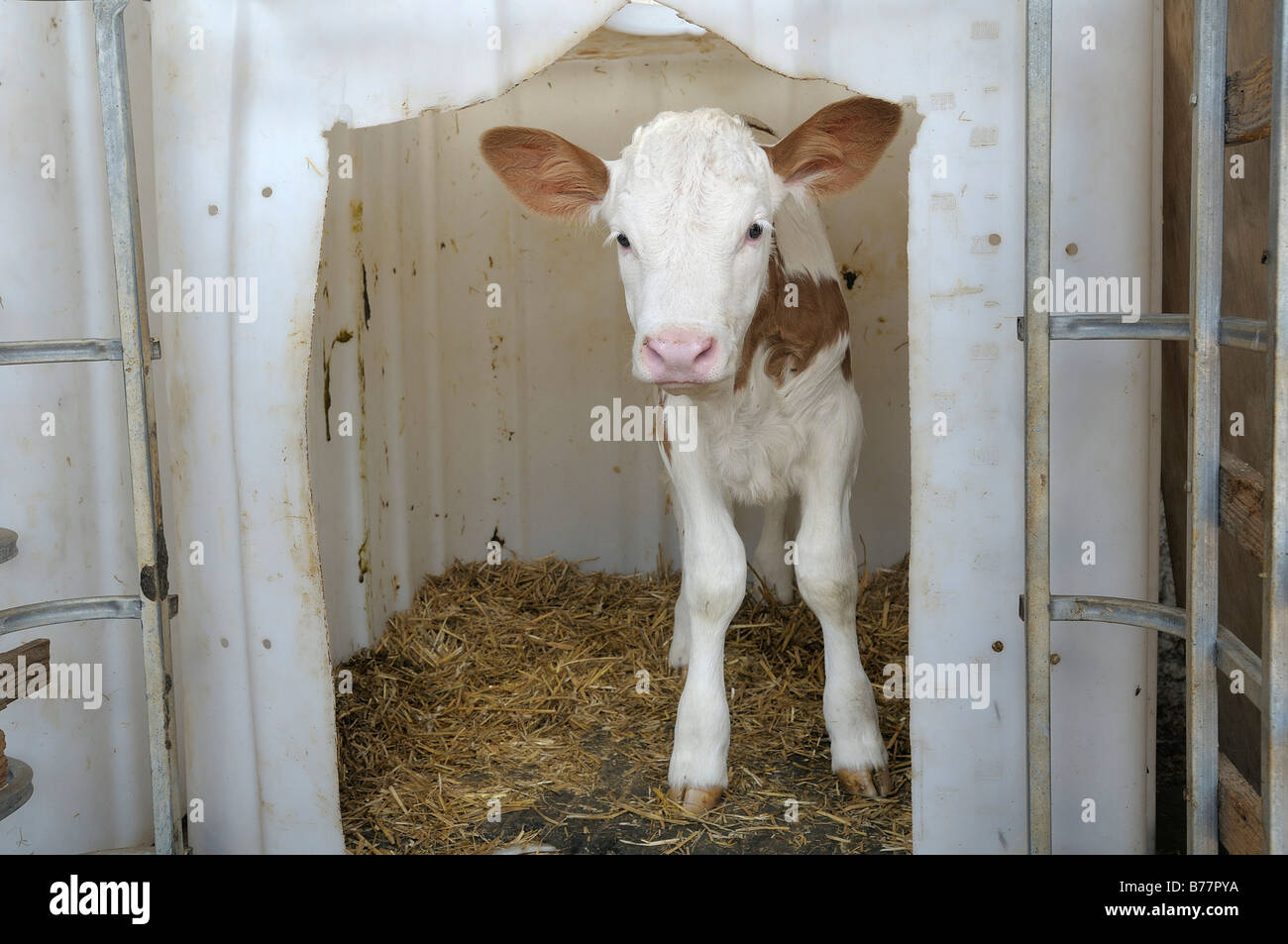 Young calf cautiously looking out of its plastic pen upper bavaria germany europe