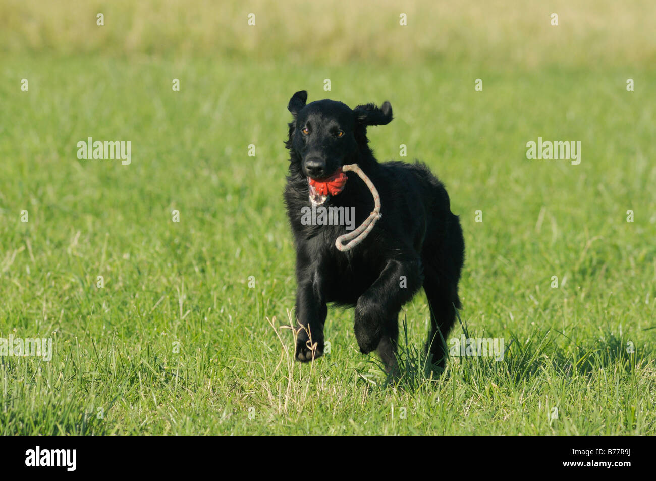 Black dog running with a red ball on a string - Stock Image
