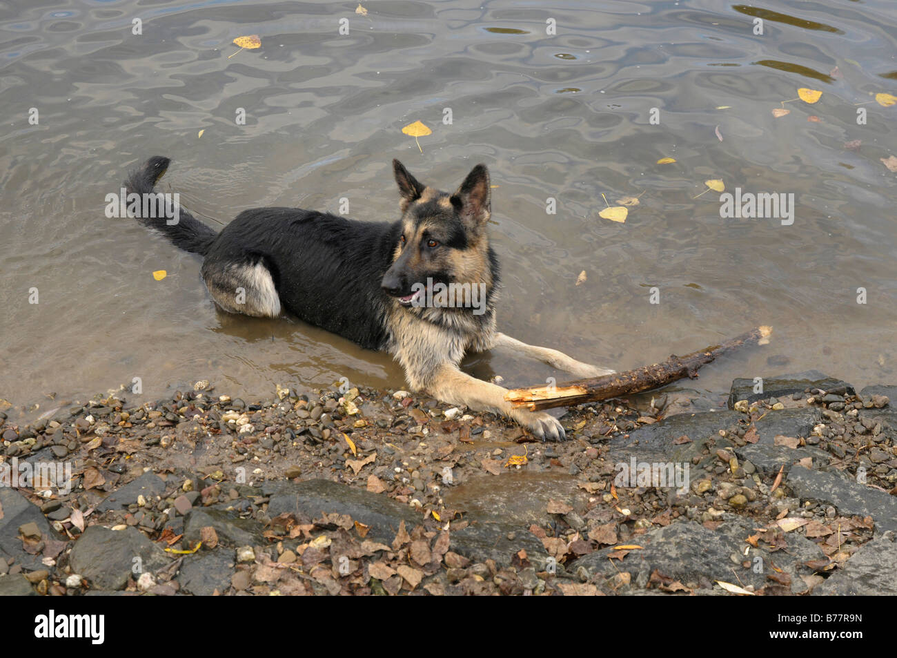 German Shepherd dog with a large branch on a riverbank - Stock Image