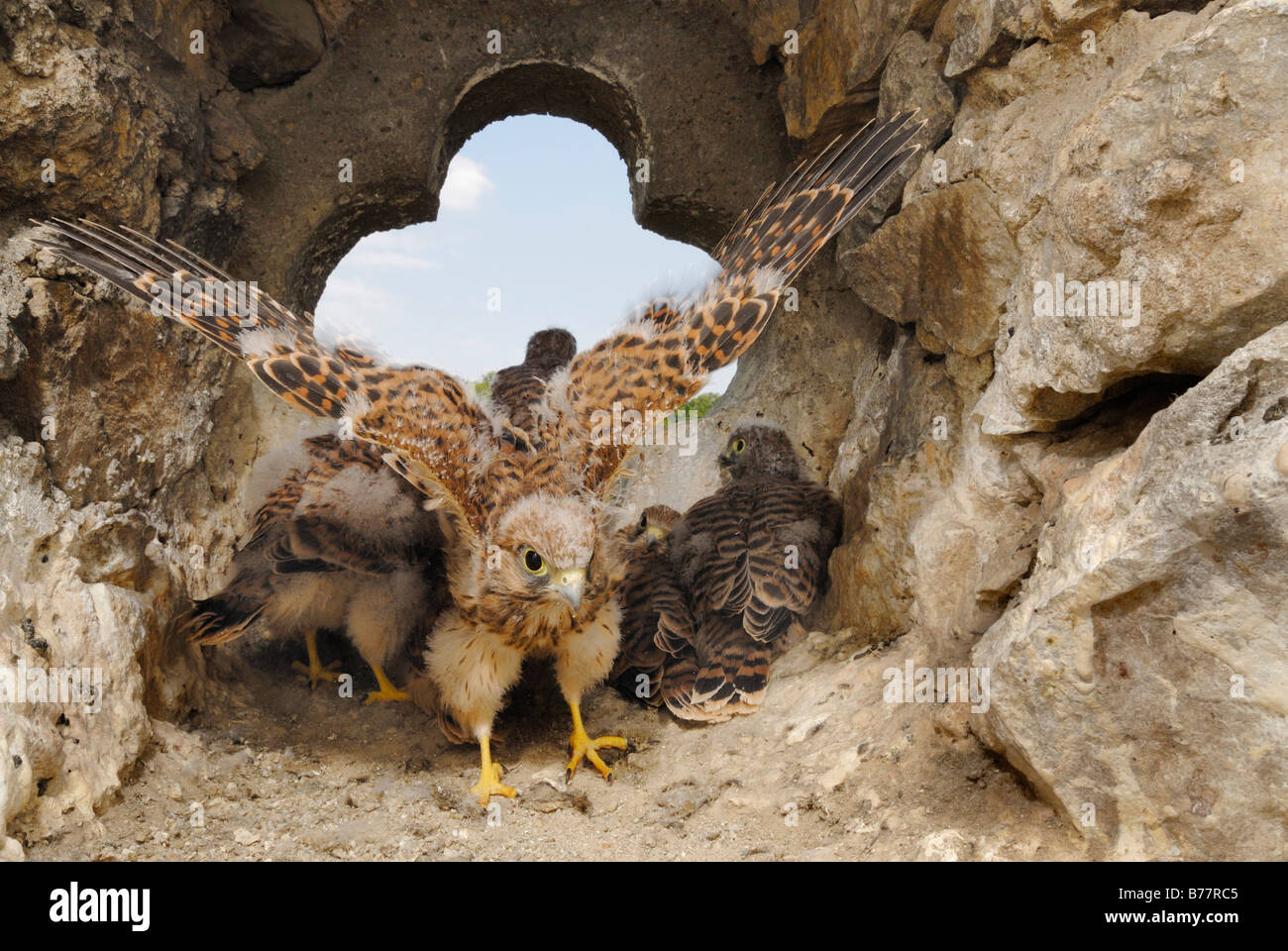 Young Common Kestrels (Falco tinnunculus) training for first flight - Stock Image