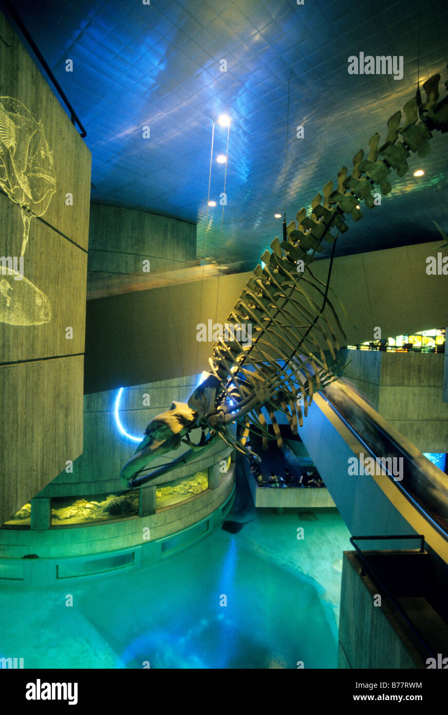 Right whale skeleton inside National Aquarium,Baltimore,Maryland - Stock Image