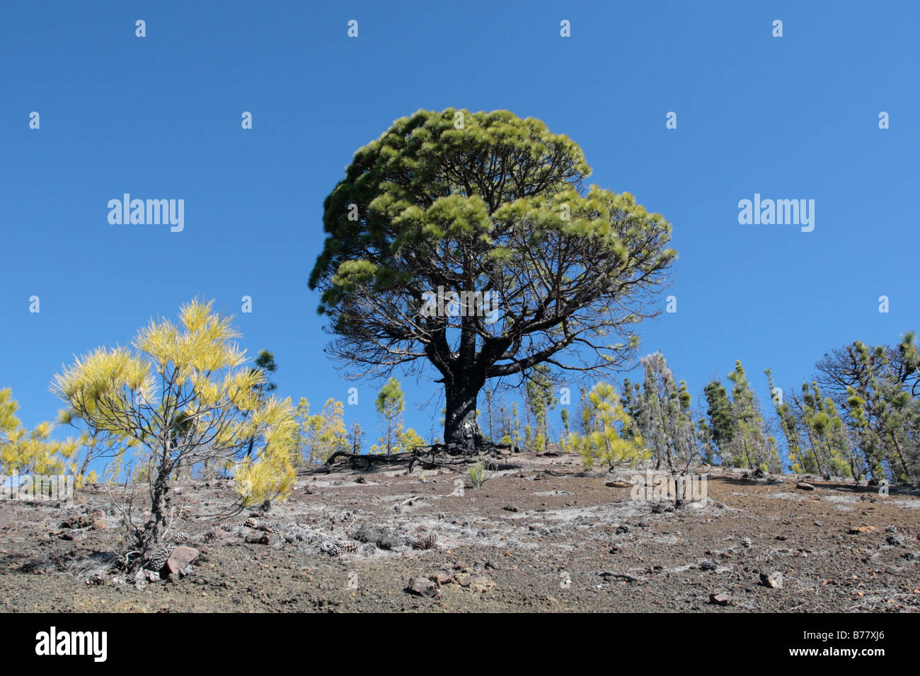 Large pinus pics