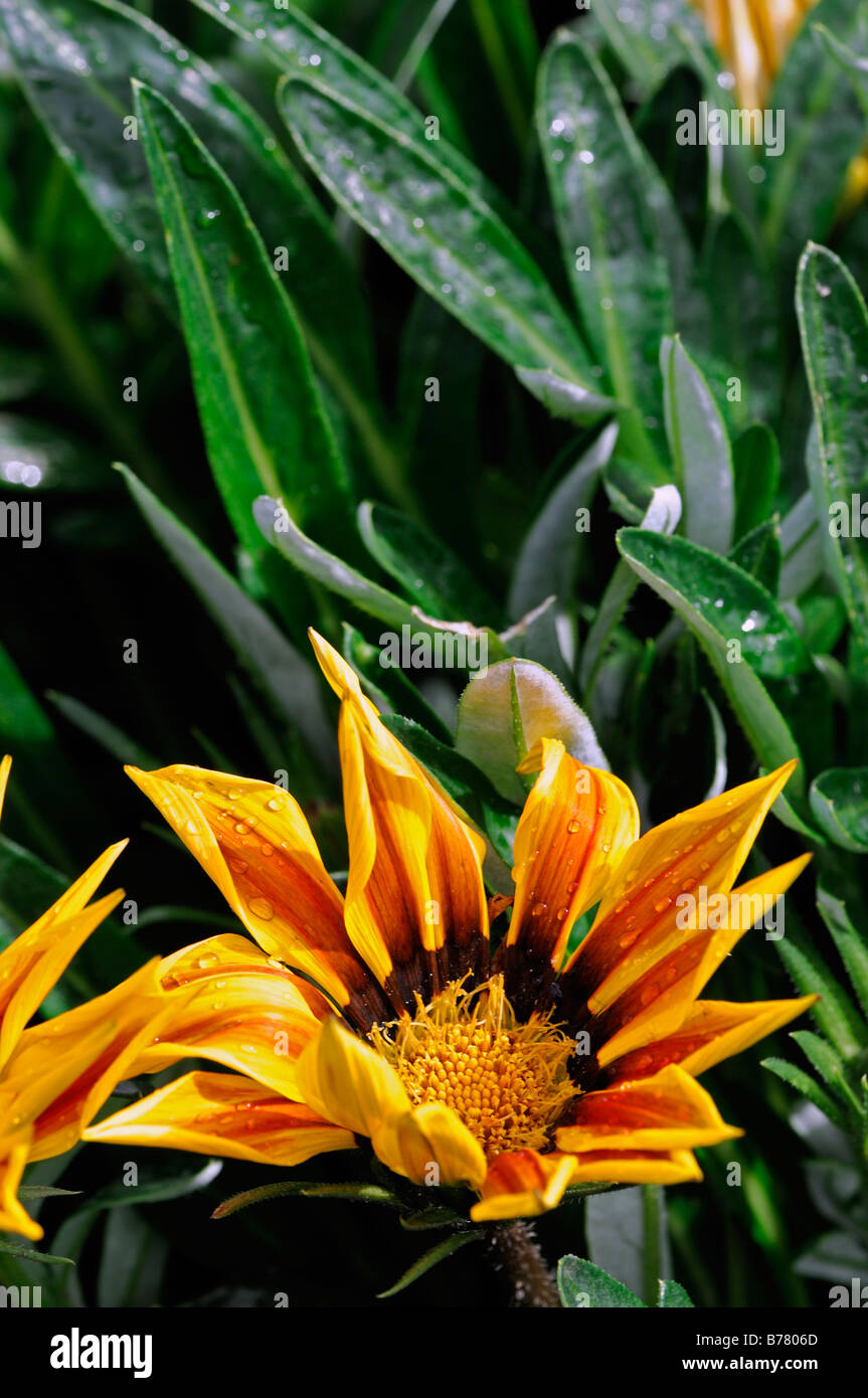 gazania f1 kiss yellow flame half hardy annual tender perennial Bright yellow red stripes - Stock Image