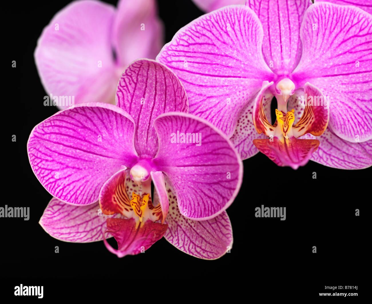 Phalaenopsis Orchid - Stock Image