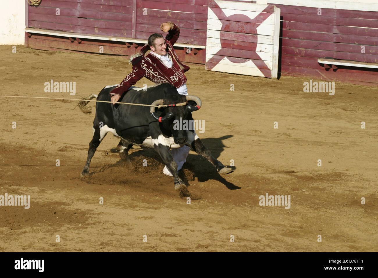 Ecarteur avoiding cow Course Landaise Larrivière Aquitaine France Gascony Stock Photo